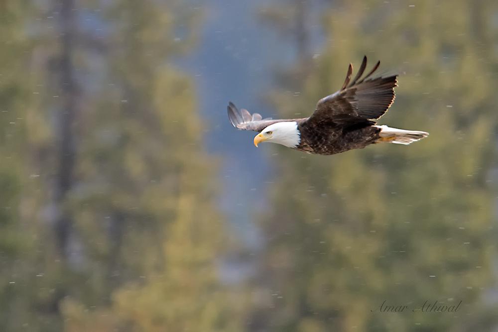 Bald Eagle 171117 Amar Athwal.jpg