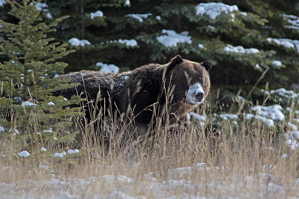Grizzly 171204 Amar Athwal.jpg