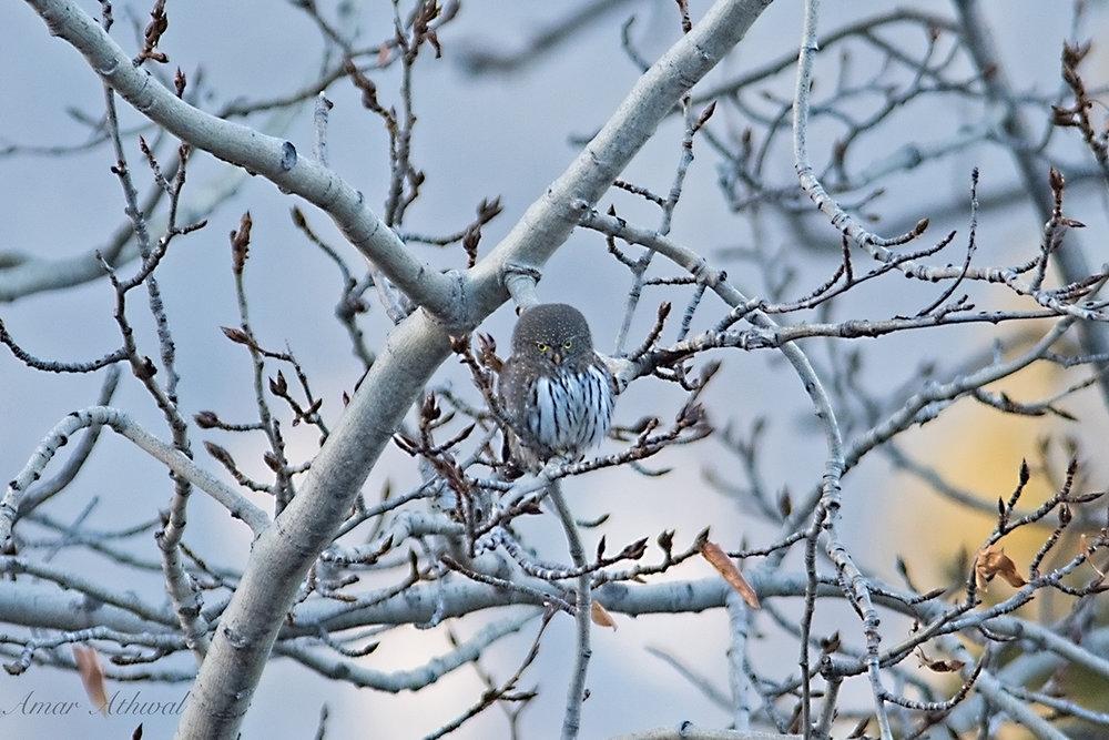 Northern Pygmy Owl 171216 Amar Athwal.jpg