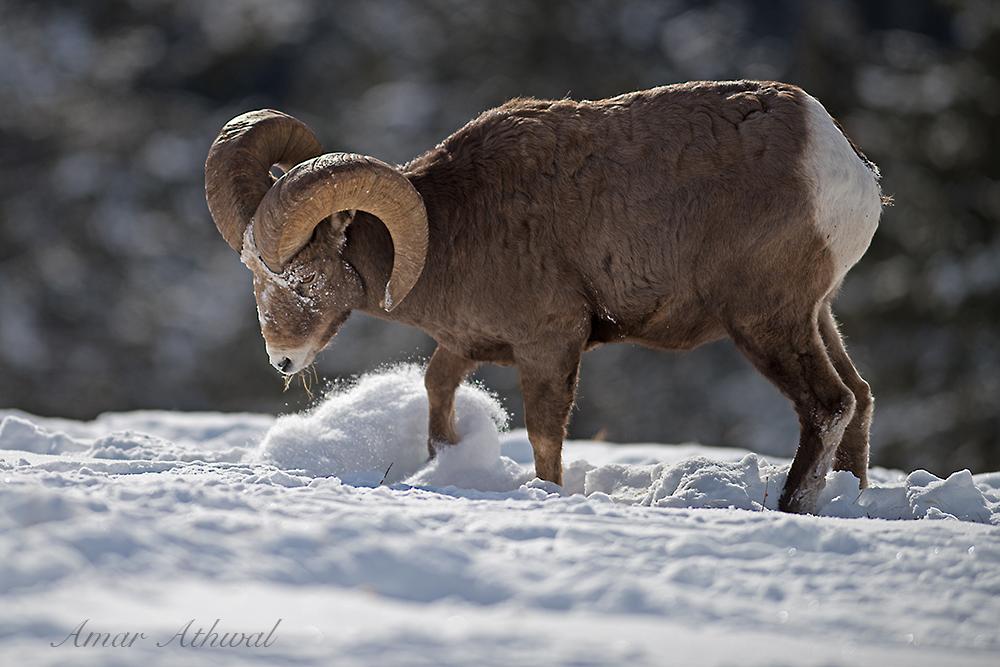 Bighorn Sheep 180104 Amar Athwal.jpg