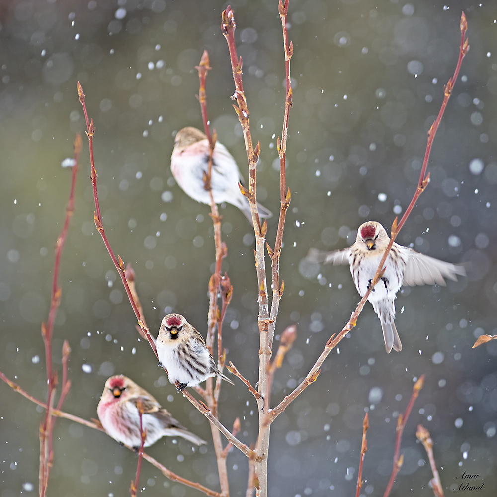 Common Redpoll 180111 Amar Athwal.jpg