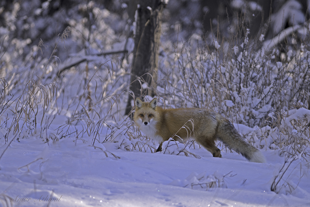 Red Fox 180126f Amar Athwal.jpg