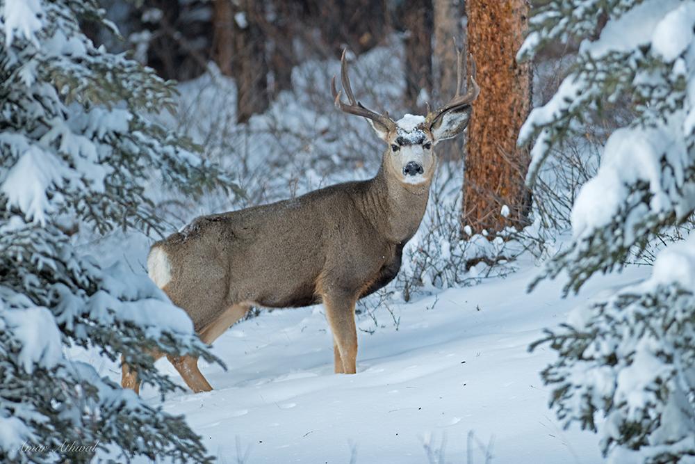 Mule Deer 180129f Amar Athwal.jpg
