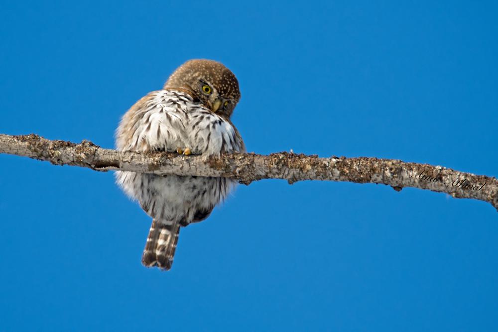 Northern Pygmy Owl 180309f Amar Athwal.jpg