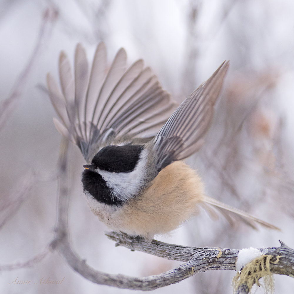 Black-capped Chickadee 180316 Amar Athwal.jpg