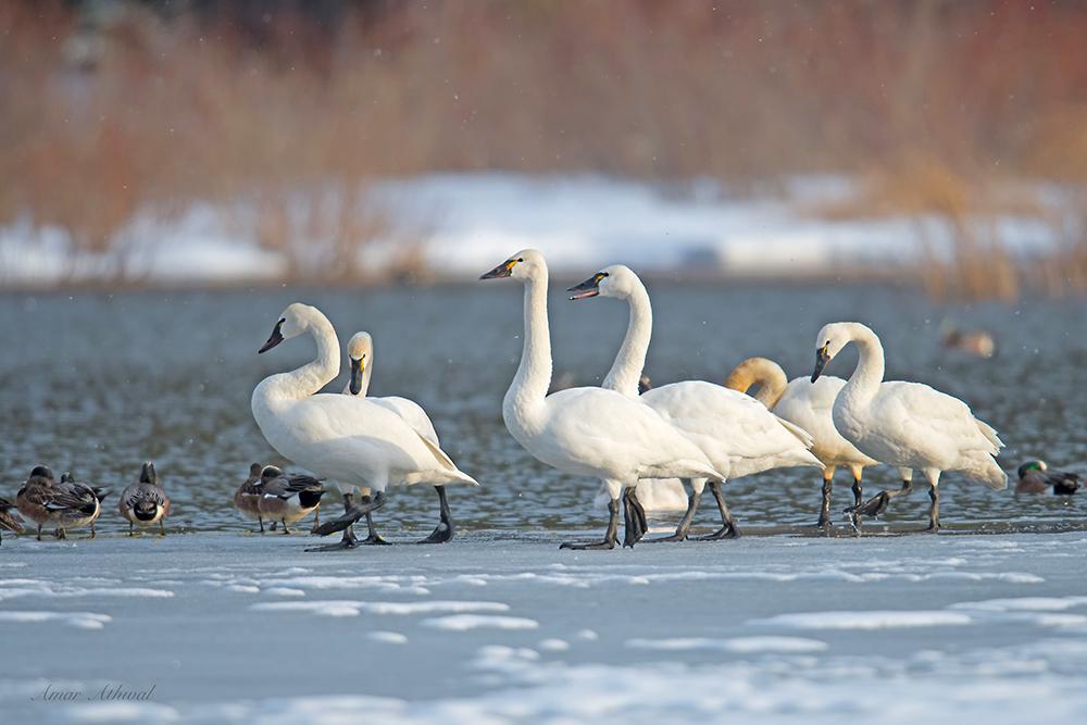 Tundra Swan 180321 Amar Athwal.jpg