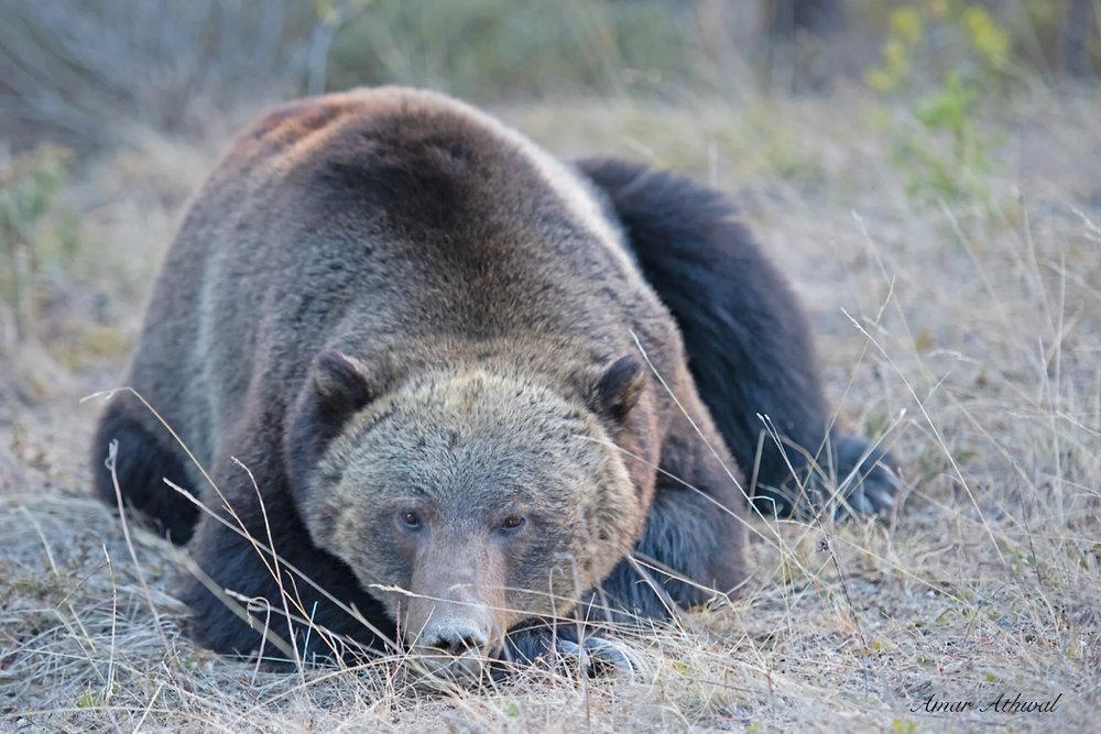 Grizzly 180427  Amar Athwal.jpg