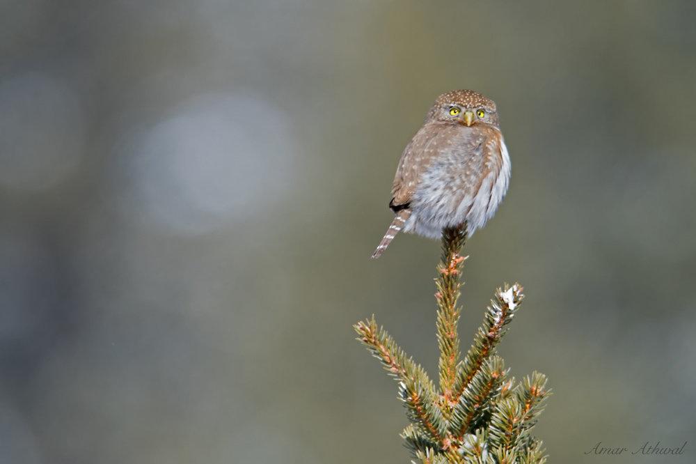 Northern Pygmy Owl 180504 Amar Athwal.jpg