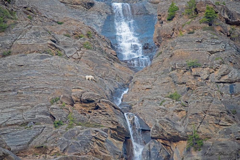 Mountain Goat 180525 Amar Athwal.jpg