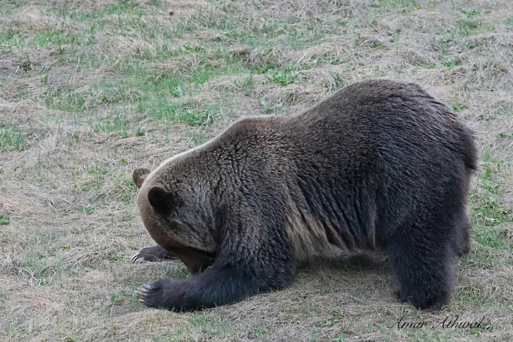 Grizzly 180530 Amar Athwal.jpg