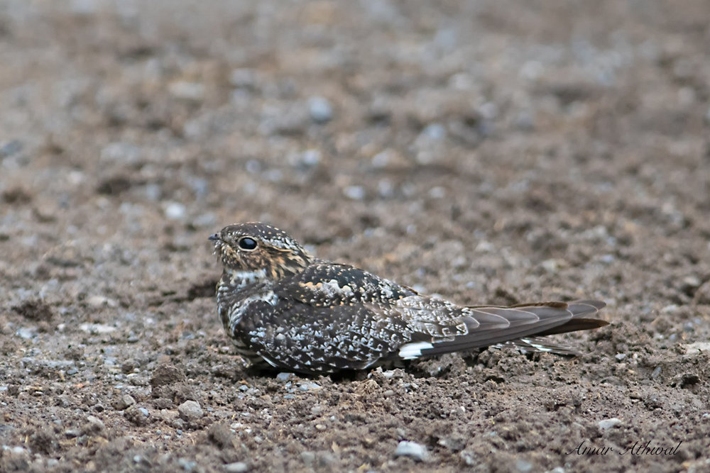 Common Nighthawk 180601 Amar Athwal.jpg