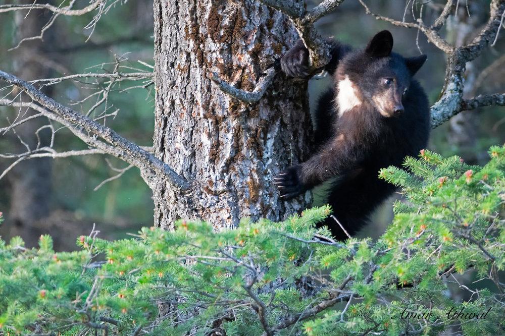 Black Bear 180603 Amar Athwal.jpg