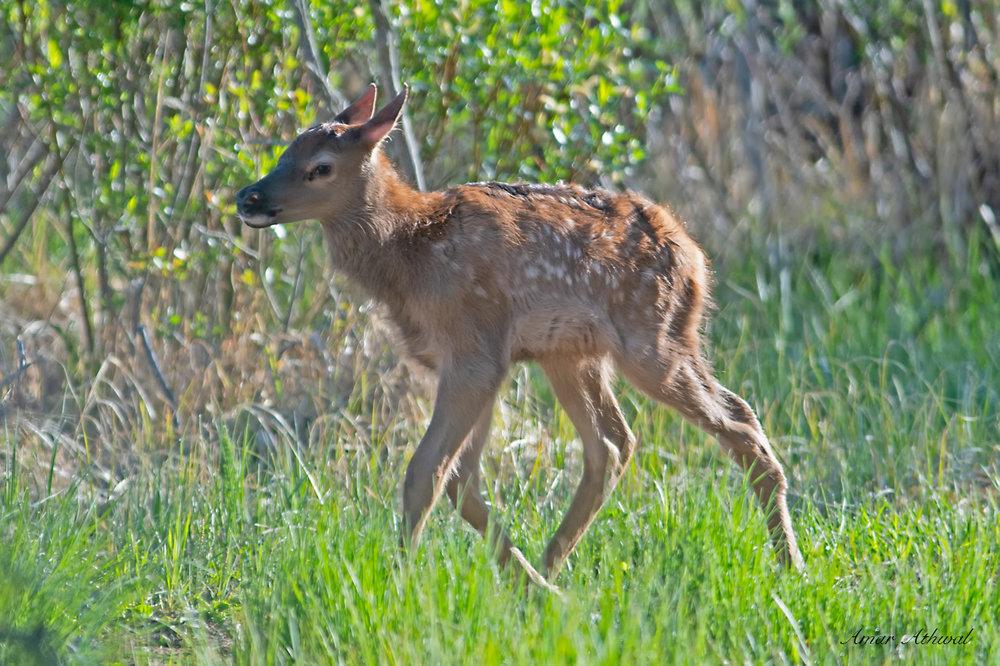 Elk 180608 Amar Athwal.jpg