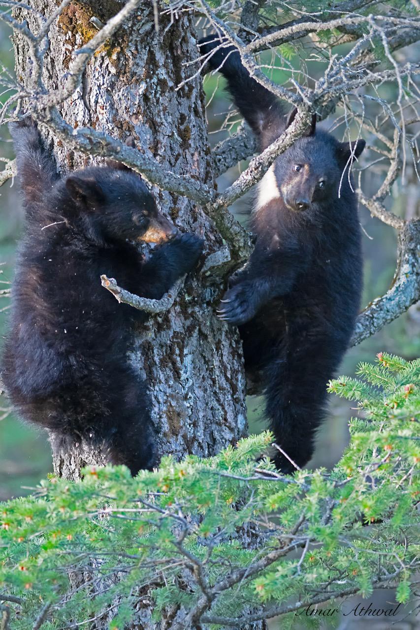 Black Bear 180615 Amar Athwal.jpg