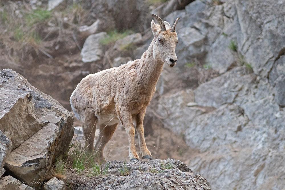 Bighorn Sheep 180626 Amar Athwal.jpg
