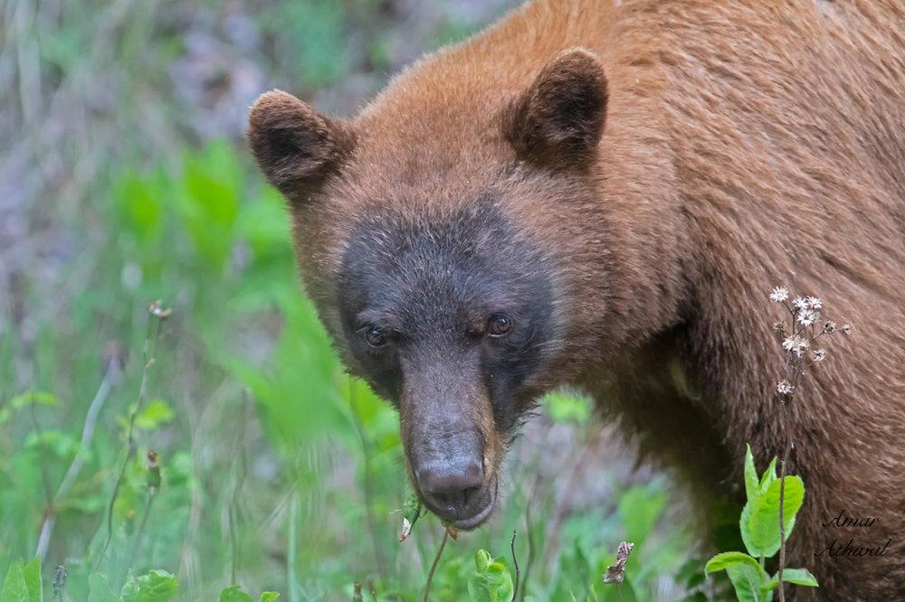 Black Bear 180705 Amar Athwal.jpg