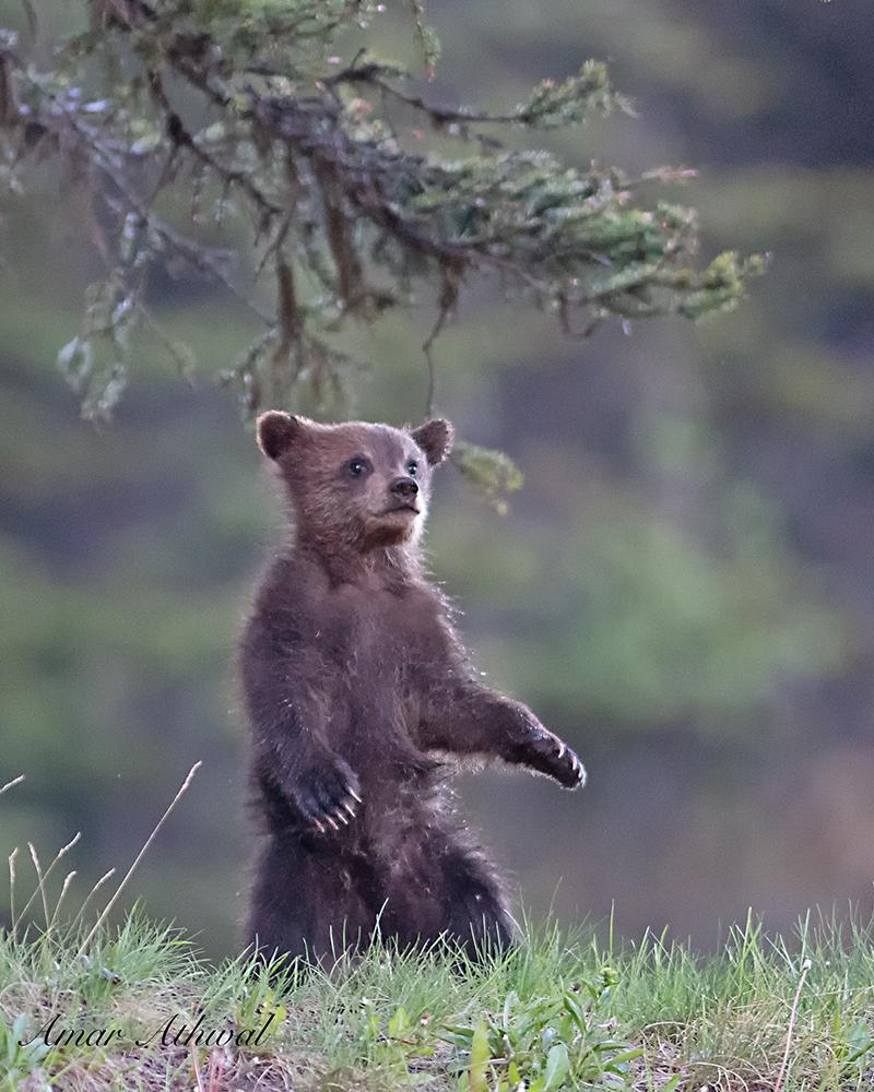 Grizzly 180708 Amar Athwal.jpg