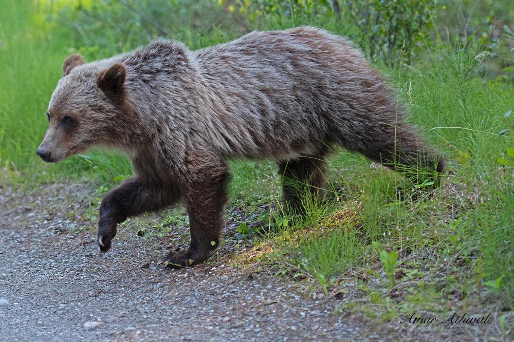 Grizzly 180709 Amar Athwal.jpg