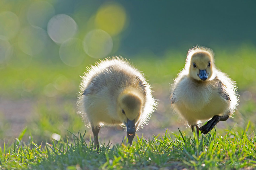 Canada Goose 180713 Amar Athwal.jpg