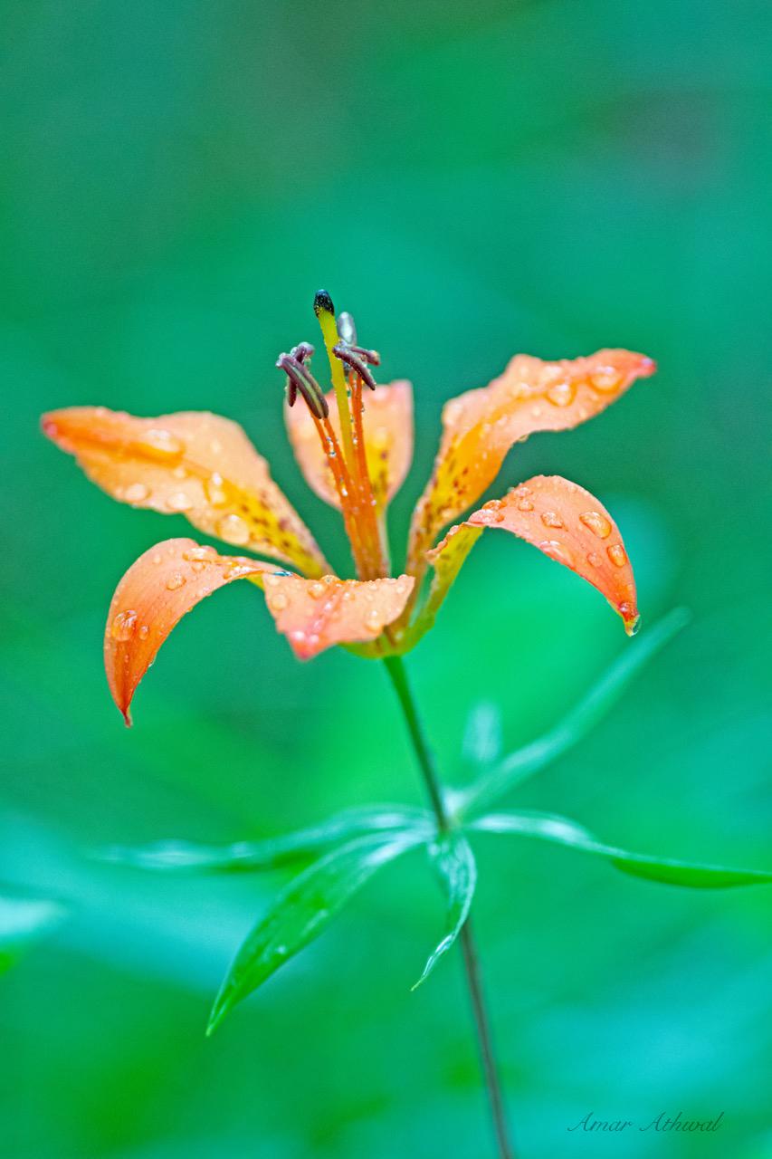 Wood Lily 180720 Amar Athwal.jpg