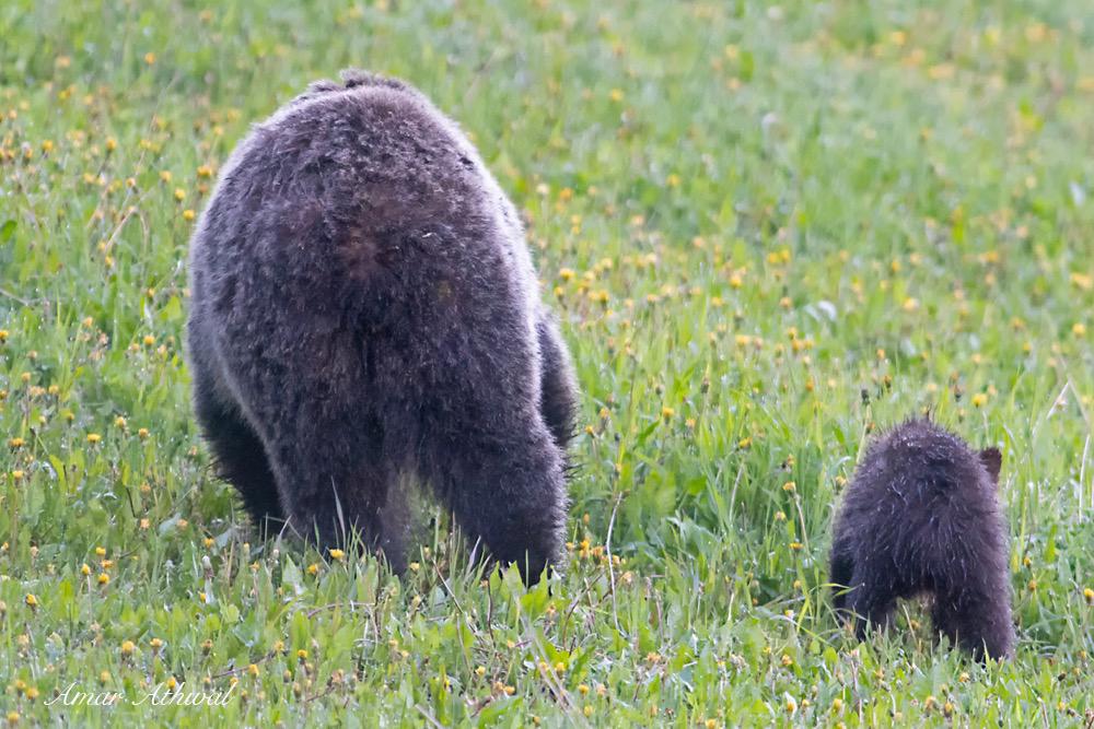 Grizzly 180801 Amar Athwal.jpg