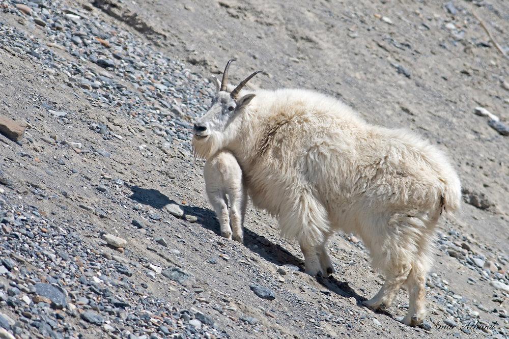 Mountain Goat 180803 Amar Athwal.jpg