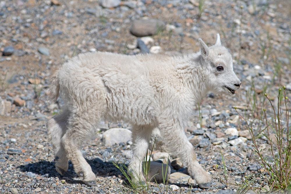 Mountain Goat 180806 Amar Athwal.jpg