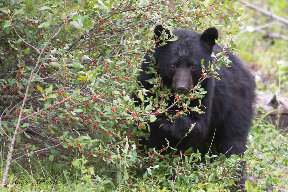 Black Bear 180810 Amar Athwal.jpg