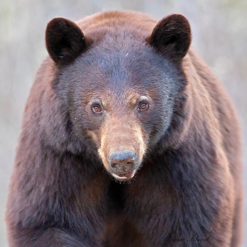 Black Bear 180831 Amar Athwal.jpg