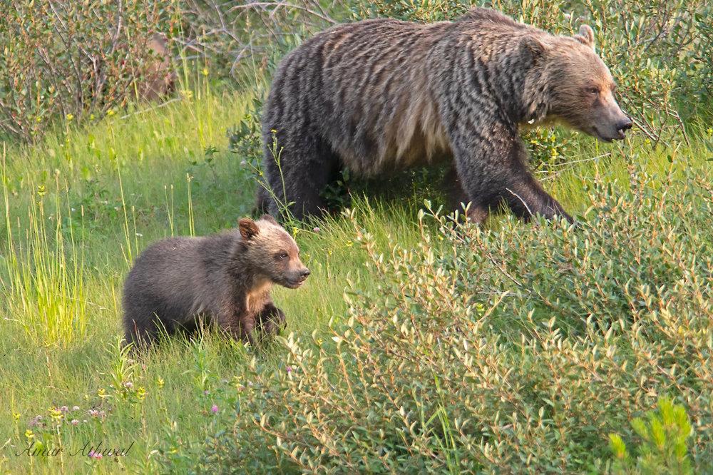 Grizzly 180921 Amar Athwal.jpg