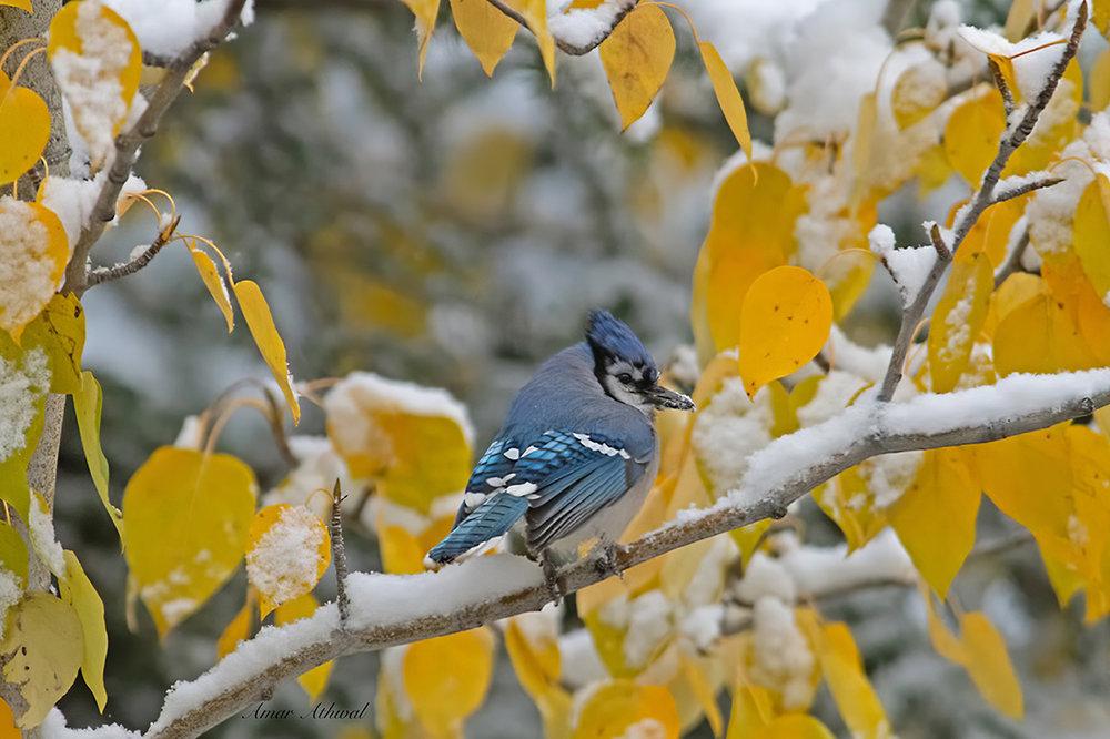 Blue Jay 181003 Amar Athwal.jpg