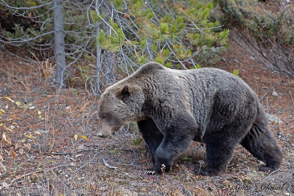 Grizzly 181017 Amar Athwal.jpg
