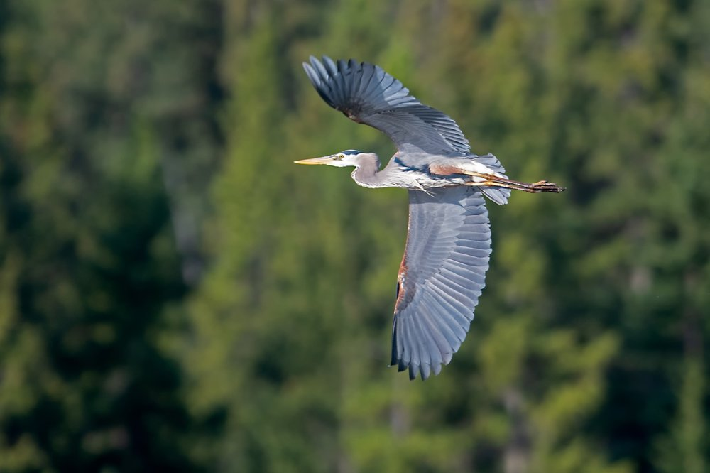 Great Blue Heron 181021 Amar Athwal.jpg