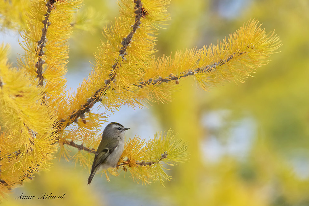 Golden-crowned Kinglet 181026 Amar Athwal.jpg