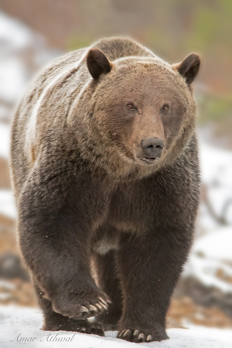 Grizzly 181102 Amar Athwal.jpg