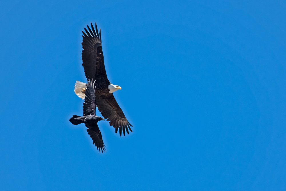 Bald Eagle and Common Raven 181123 Amar Athwal.jpg