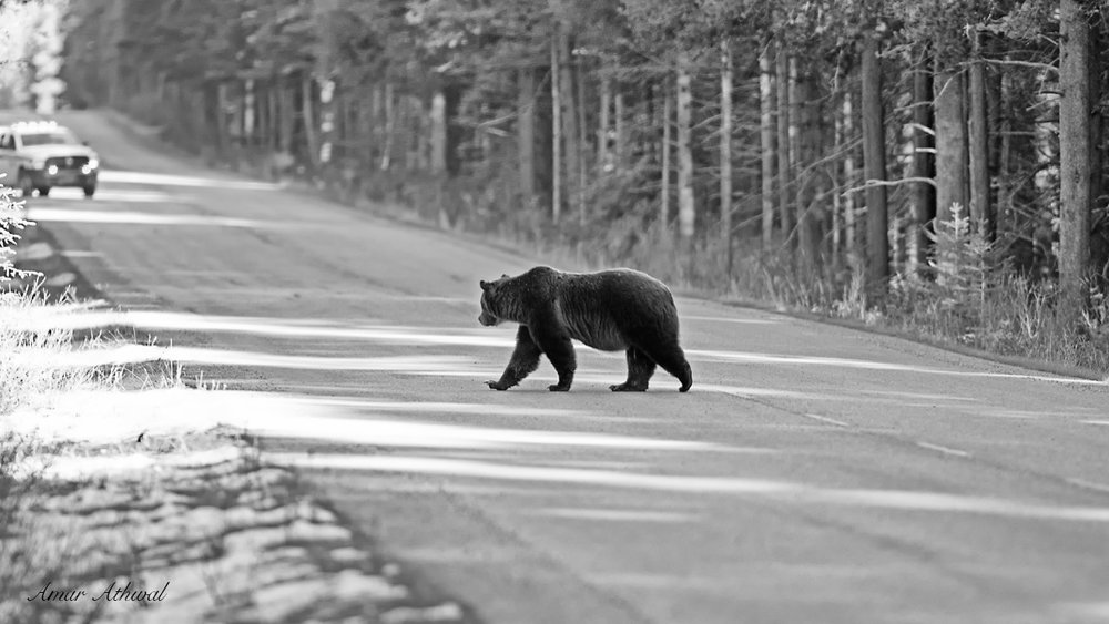 Grizzly 181130 Amar Athwal.jpg