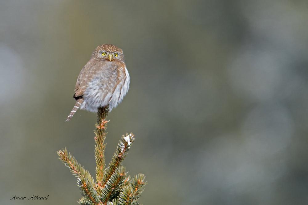 Northern Pygmy Owl 181207 Amar Athwal.jpg