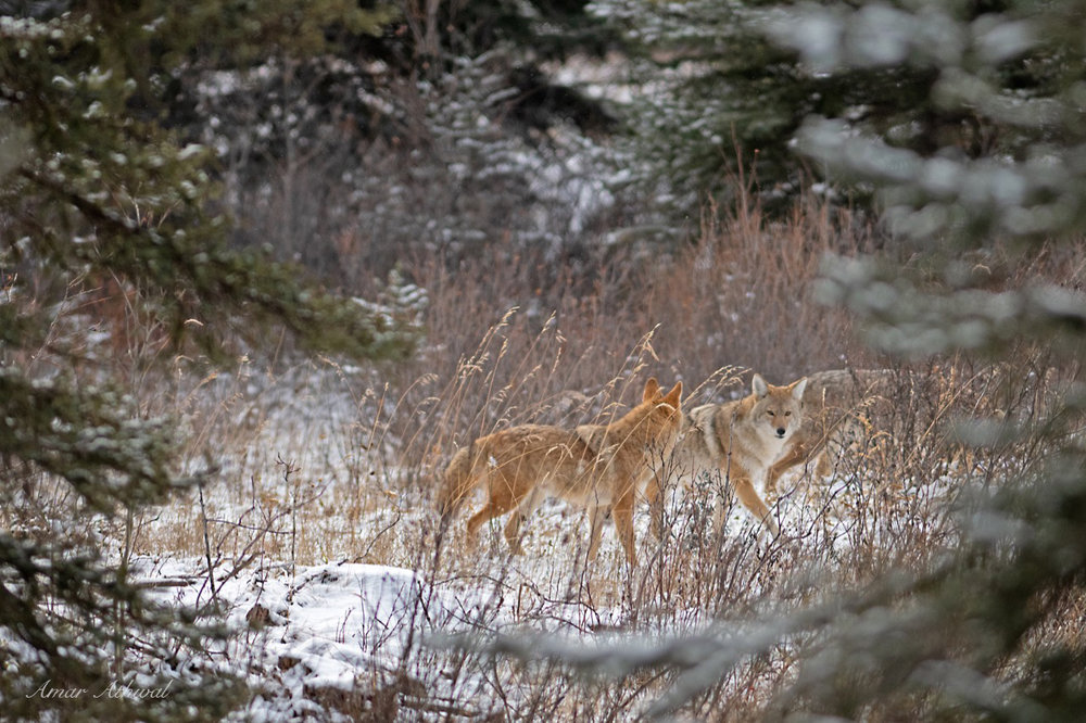 Coyote 181221 Amar Athwal.jpg