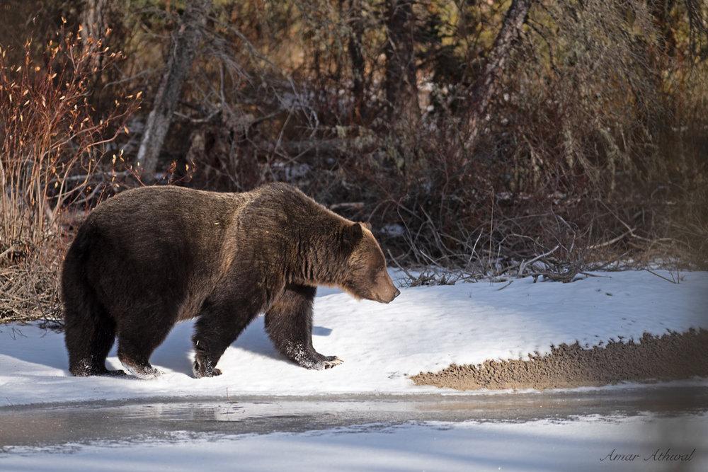 Grizzly 190111 Amar Athwal.jpg
