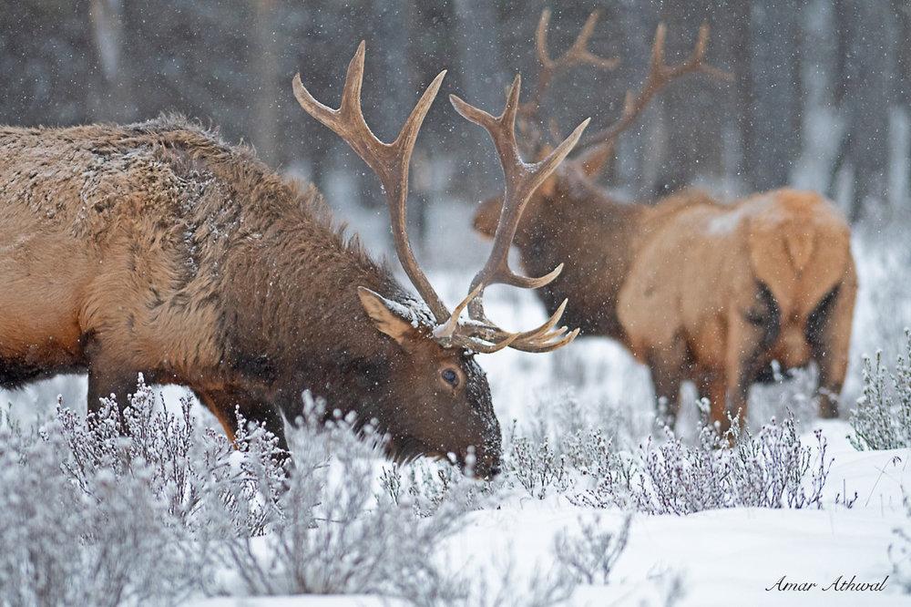 Elk 190118 Amar Athwal.jpg
