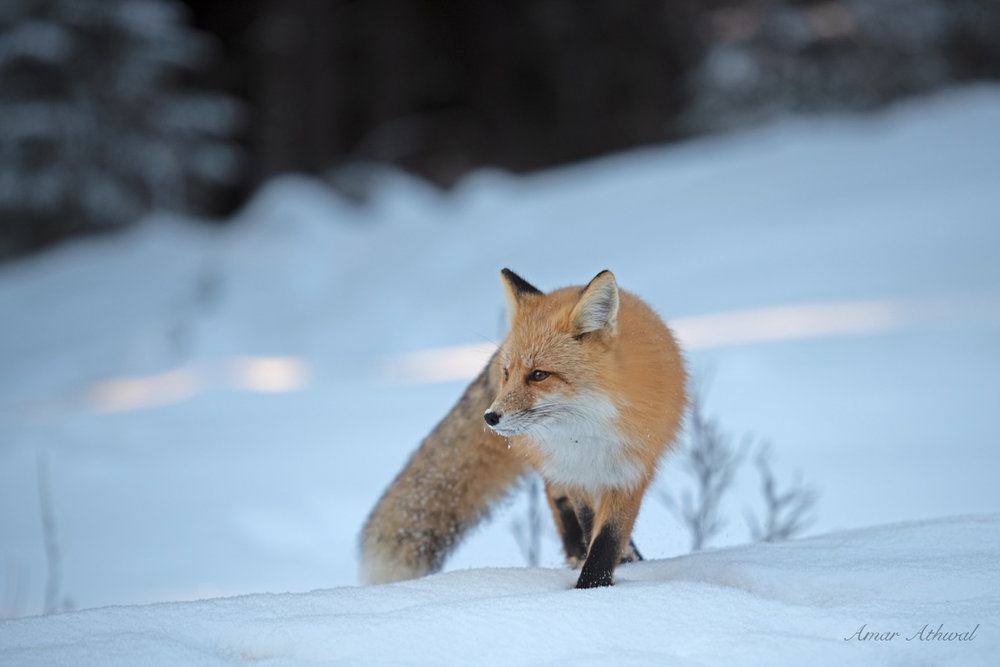 Red Fox 190405 Amar Athwal.jpg