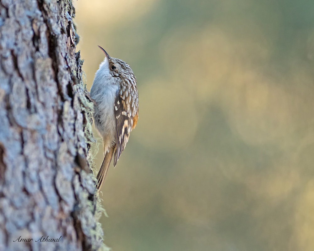 Brown Creeper 190305 10-Edit.jpg