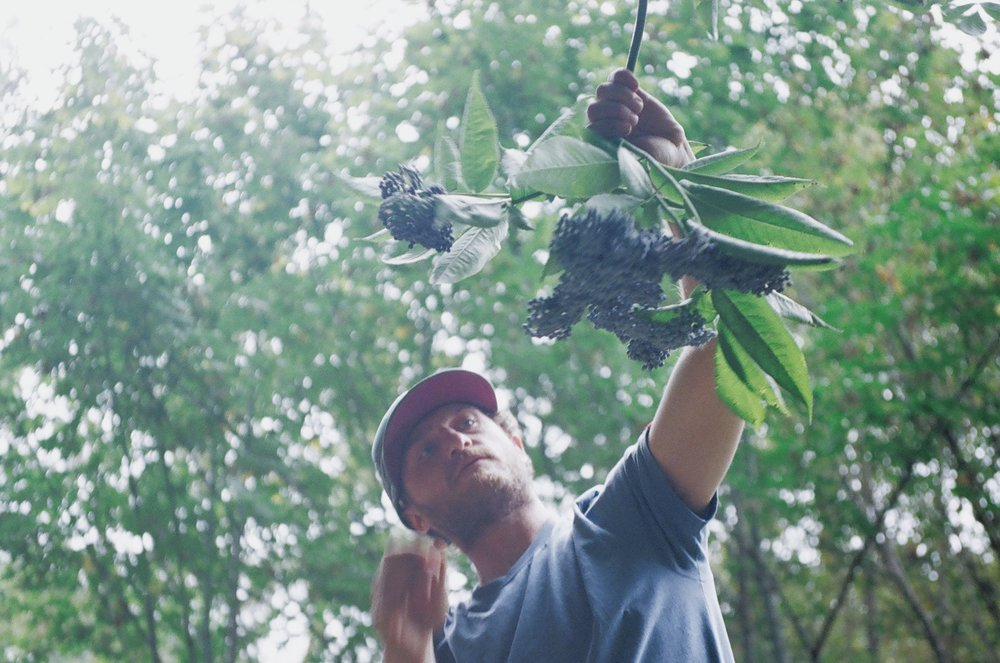 Sean of WildCraft Cider Works in Lane County, Oregon. Harvesting elderberries in the wild / Kelly Cox