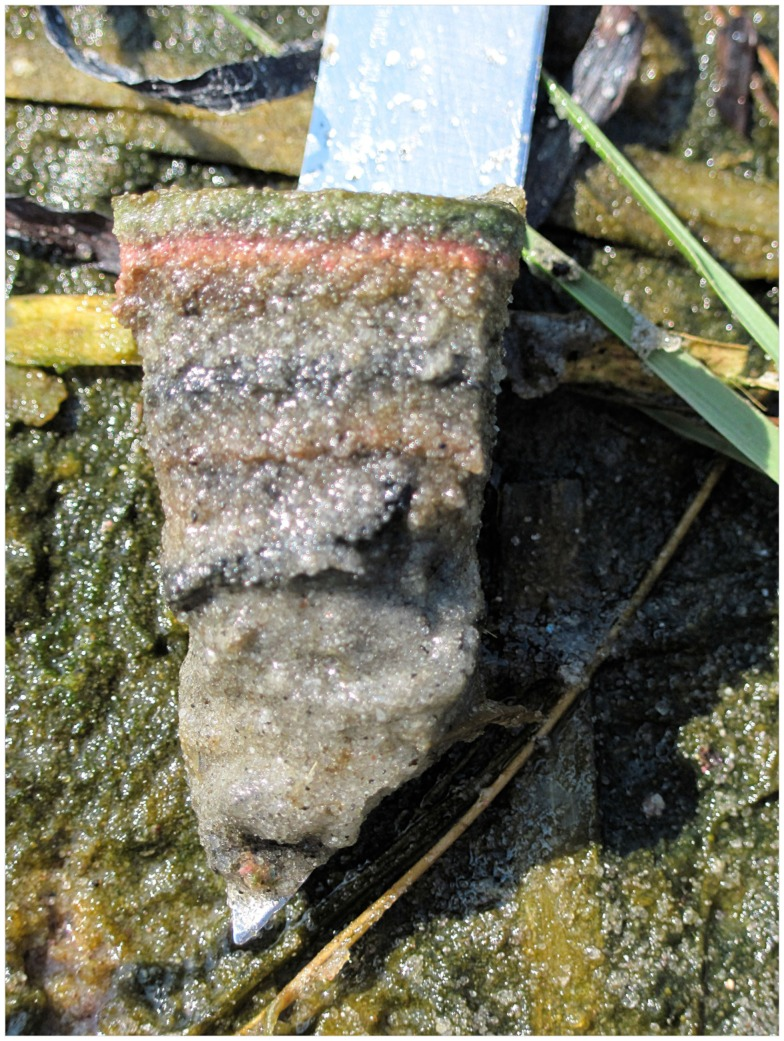Fig. 2 —  An example of a laminated microbial mat in the Sippewissett Salt Marsh near Woods Hole, MA.