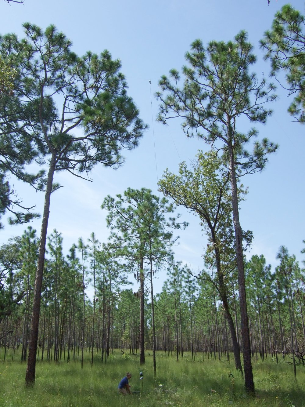 Fig. 1 —  Deployment of ground and canopy bat detectors at a recently burned longleaf pine savanna.
