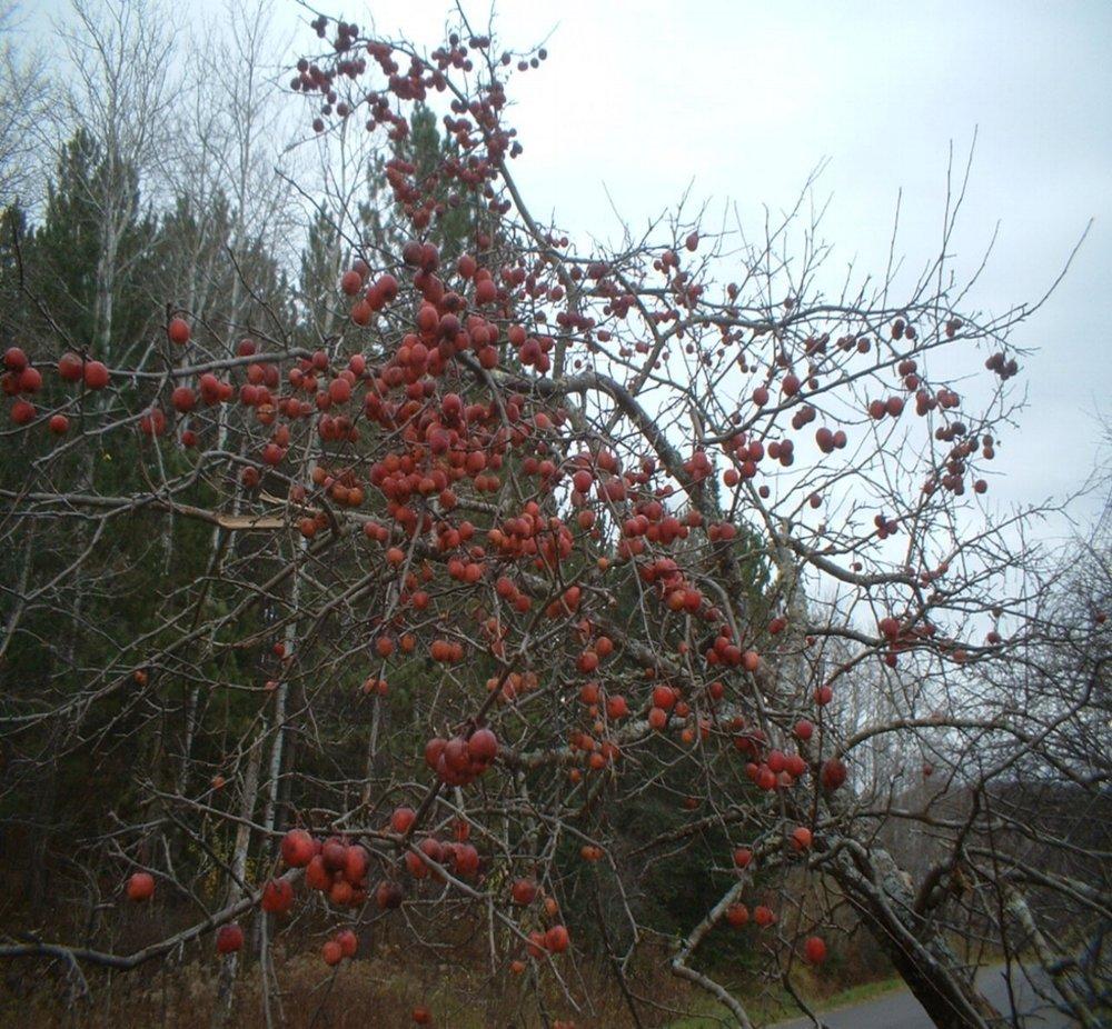 Winter apple tree in February.