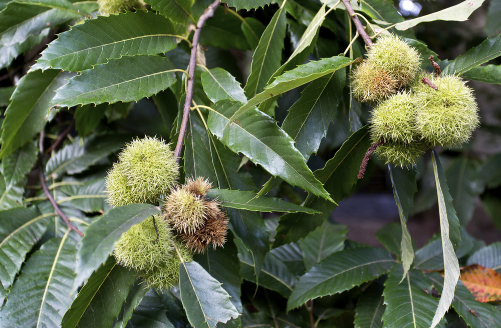 Hybrid Chestnut seed still on the tree getting ready to ripen.