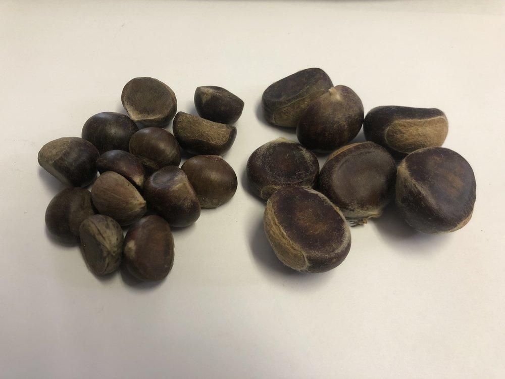 A comparison between the Gobbler Chestnut and Hybrid chestnut size. The Gobbler Chestnut Seeds on the left and hybrid chestnut seed on the right.