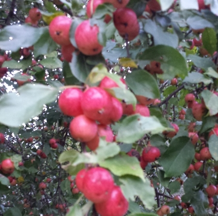 Dolgo Crabapple in Early October before the leaves begin to turn.